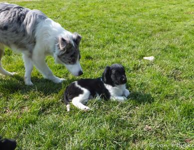 Jesse maakt probleemloos kennis met andere honden