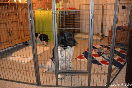 De rollen zijn omgedraaid: pupjes los in de kamer en de oudjes in de ren