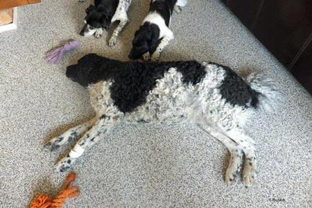 De foto is gemaakt toen Guusje iets meer dan vier weken drachtig was. Haar dagen brengt ze zo slapend op de grond door.