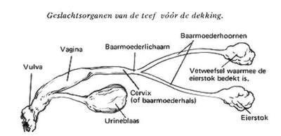 schematische voorstelling van het geslachtsorgaan van de teef