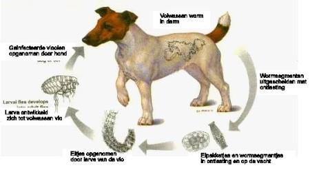 cyclus van een lintworm (foto: www.wormbestrijding .nl)