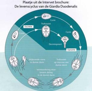 Giardia cyclus