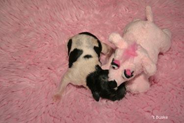 Gelukkig voor Josette was het vijfde pupje een levend teefje Leafke Amy van 't Buske Geboren om 9.55 uur Gewicht 352 gram Josette heeft deze naam voor haar toekomstige huisgenoot bedacht en daar kan ik prima mee leven! Amy is het meest wit op de rug met een stip tussen de schouder. In het wit schijnt al schimmel door. Ze heeft een klein blesje.