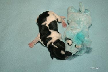 Het vierde pupje was weer een reutje Leafke Teun van 't Buske Geboren om 9.26 uur Gewicht 369 gram Niet vernoemd, gewoon een leuke naam. Teun herken je aan de bliksemschichten op zijn lijf en kopje. Op zijn kop heeft hij ook een klein blesje. Ook hij lag in een stuit.