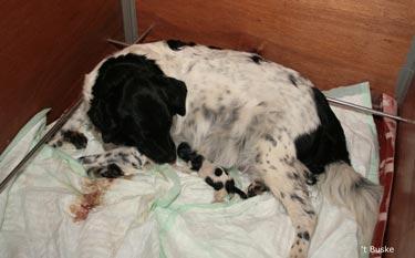 En terwijl Dries op zoek is naar de tepel wordt pupje twee geboren. Het is wat lastig te zien maar ter hoogte van de knie van Imre ligt een klein wat groen uitziend pupje. Ze leefde eerst nog wel maar overleed binnen enkele minuten.