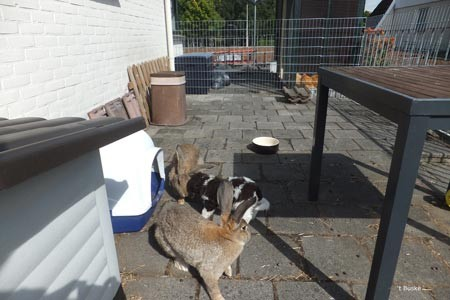socialiseren met konijnen