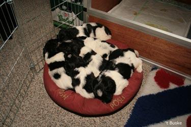 Spontane actie van de pups om allemaal samen in het mandje te gaan liggen.