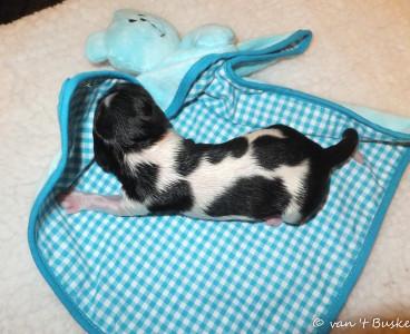 De derde pup was wederom een reutje: Charlie Sinne van 't Buske De naam is bedacht door zijn toekomstige eigenaar. Hij woog 376 gram en is om 3.52 uur geboren.