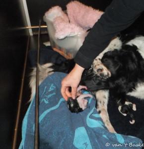 Het laatst levende pupje is geboren