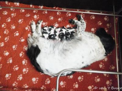 En daar ligt een tevreden mama Imre met 6 schitterende pups!