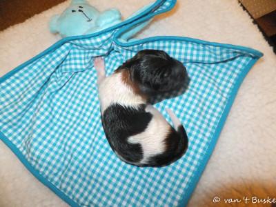 Ons eerst pupje was een reutje van 344 gram. Zijn naam: Tjebbe Sinne van 't Buske Tjebbe werd geboren om 1.40 uur. Zijn naam is bedacht door de nieuwe eigenaar. Een leuke Friese naam!