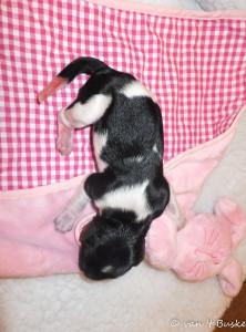 Het tweede pupje was gelukkig een teefje: Rivan Sinne van 't Buske Dit kleine wondertje mag bij ons blijven wonen. Rivan heb ik altijd al een prachtige naam gevonden. Ooit ergens horen vallen en nooit meer uit mijn gedachten geweest.