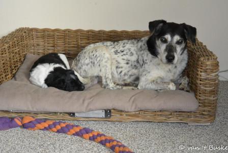 Het pupje lag er eerst en stond niet op toen Jessie er aan kwam. Iets wat de grote honden wel altijd doen. Jessie accepteerde het en ging er gewoon bij liggen, de schat!
