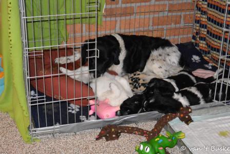 Floran ligt graag bij de pups in de bench