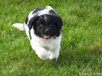 Charlie mocht mee met de grote honden naar het Horsterpark