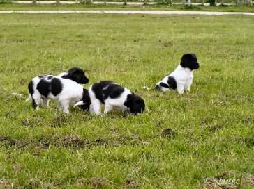 Nog één keer samen op het veld. De eerste pupjes vertrekken volgende week